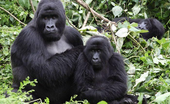 Gorilla Trekking Tours in Virunga