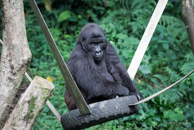 Gorillas in Sekenkwe