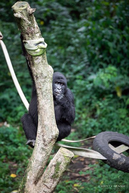 Sekenkwe Gorilla Orphanage Centre