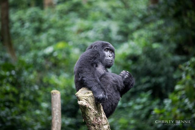 Virunga Gorillas